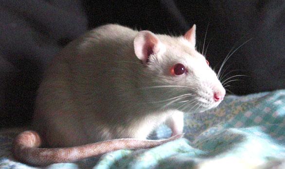 szczur lab
